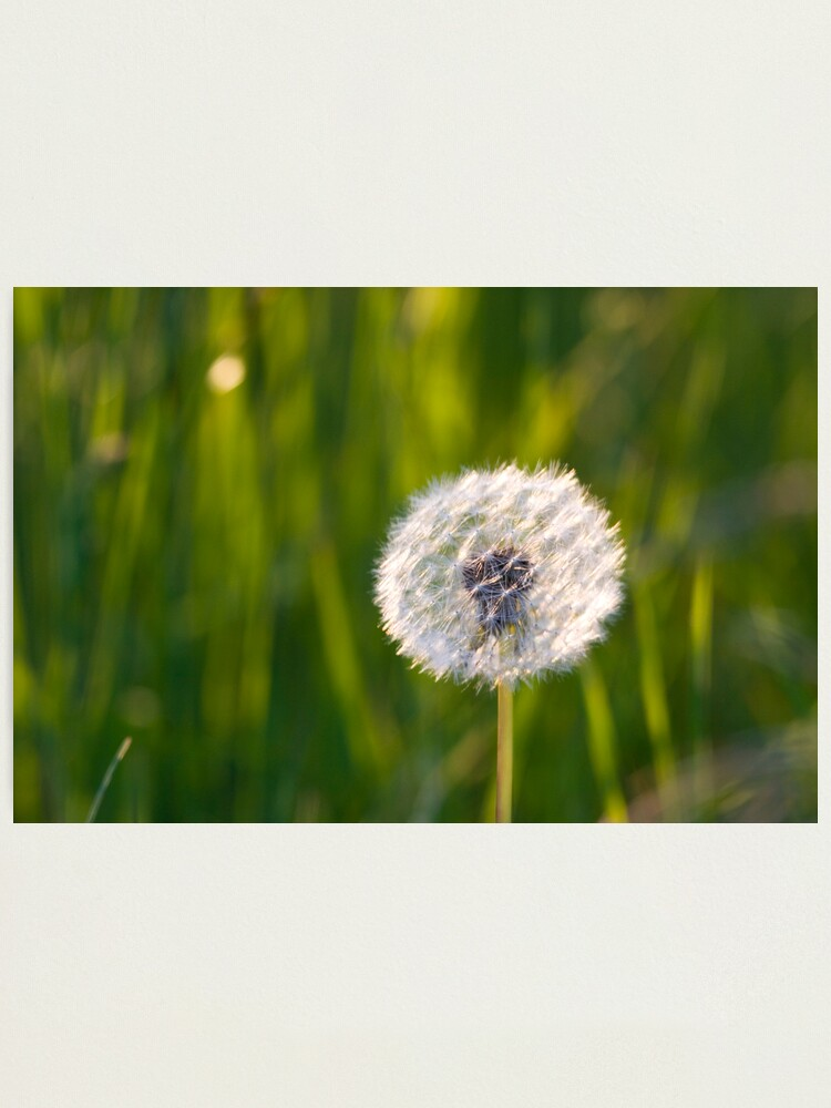 Alternate view of The lone dandelion Photographic Print