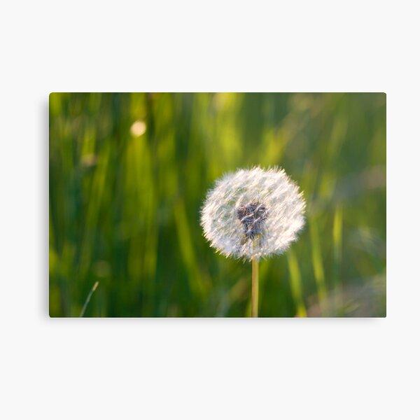 The lone dandelion Metal Print