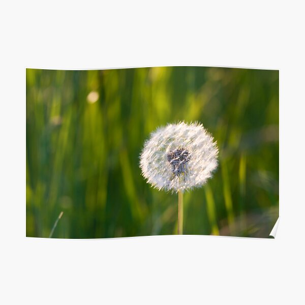 The lone dandelion Poster