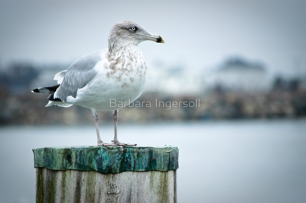 Seagull on Green by Barbara Ingersoll
