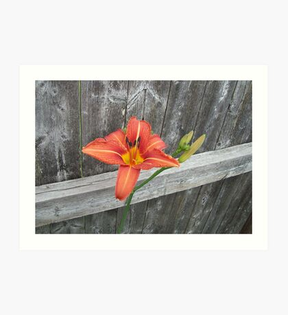 Lily and Fence Art Print