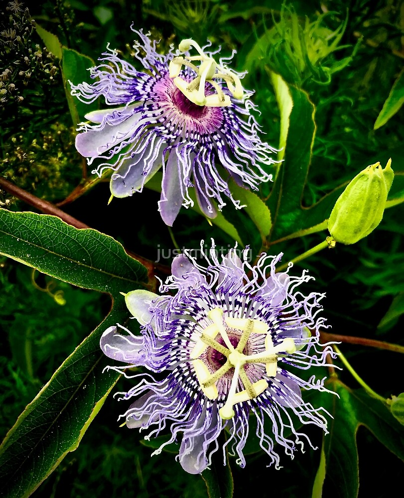 Passion Flowers by justminting