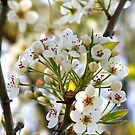 White Spring Blooms by kkphoto1