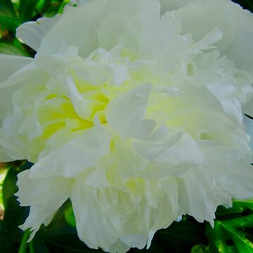 White Peony by Shulie1