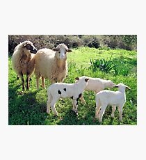 Two Ewes and Three Lambs Grazing Photographic Print