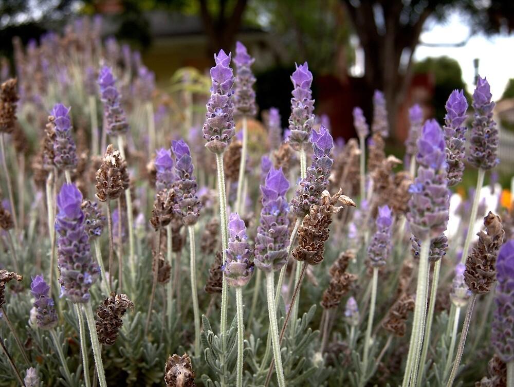 Lavender Field by Douglas E.  Welch