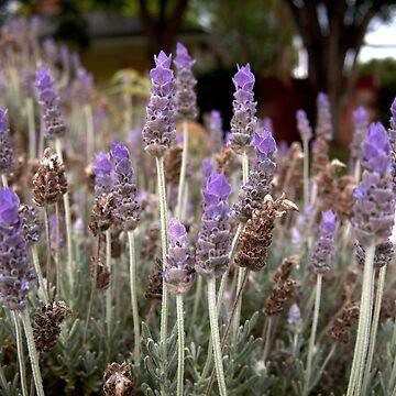Lavender Field by douglasewelch