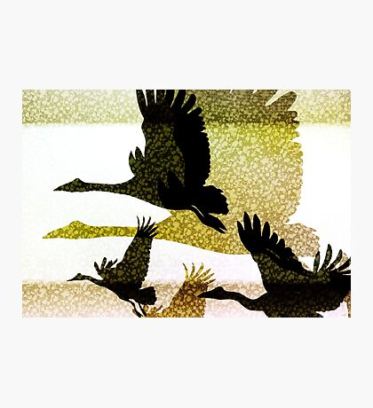 Magpie Geese in Flight Photographic Print