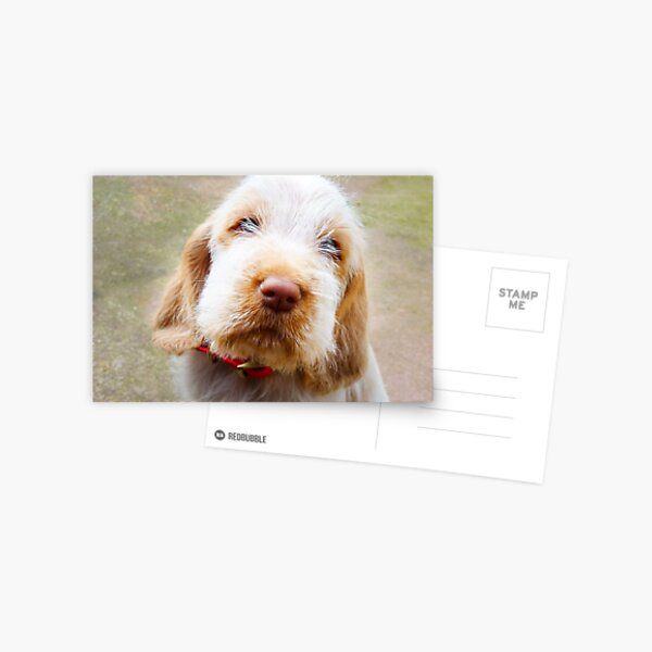 Lifetime of love Spinone Postcard