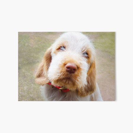 Lifetime of love Spinone puppy Art Board Print