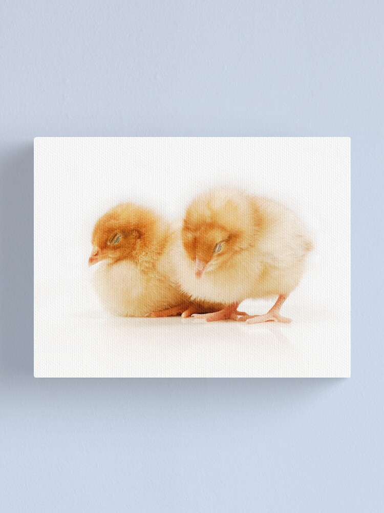 Alternate view of Pair of sleeping chicks Canvas Print