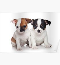 Two puppies chihuahua Poster