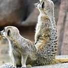 Meerkats by brucemlong