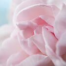 Pink Carnation by mirandaburski