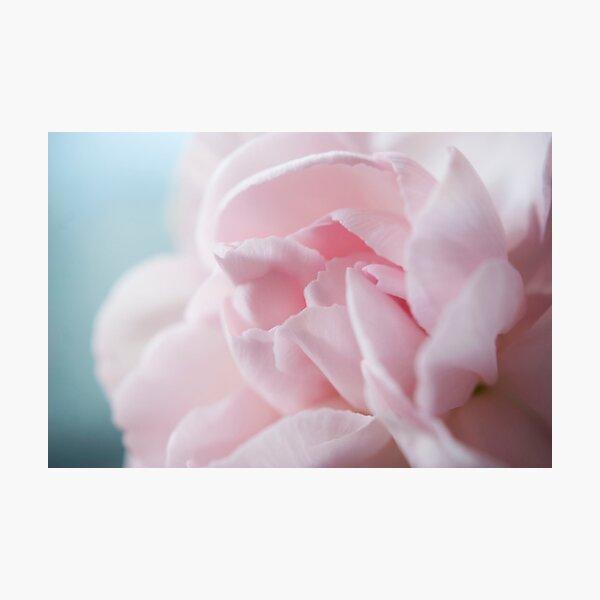Pink Carnation Photographic Print