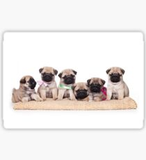 Six charming pug puppy Sticker