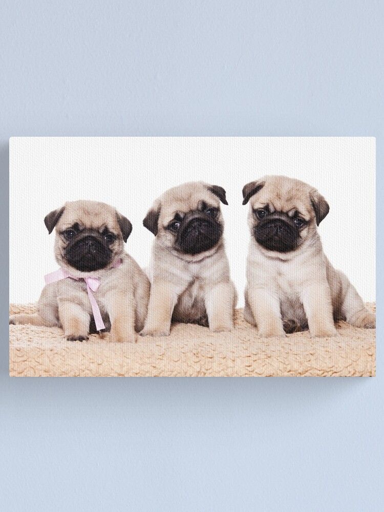 Alternate view of Three pug puppy Canvas Print