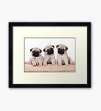 Three pug puppy Framed Print