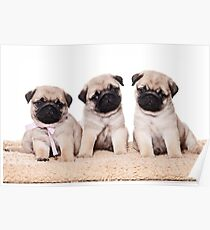 Three pug puppy Poster