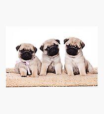 Three pug puppy Photographic Print