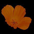 California Poppy On Black by Lynda Anne Williams