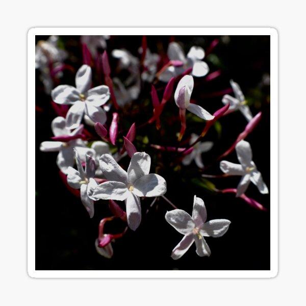 Jasmine Blooms On Black Sticker