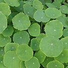 Nasturtium leaves, photograph by Vic Potter by Vic Potter