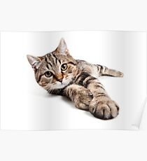 tabby cat with big paws Poster