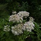 Wild Angelica (Angelica sylvestris) by IOMWildFlowers