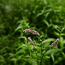 Redshank (Persicaria maculosa) by IOMWildFlowers