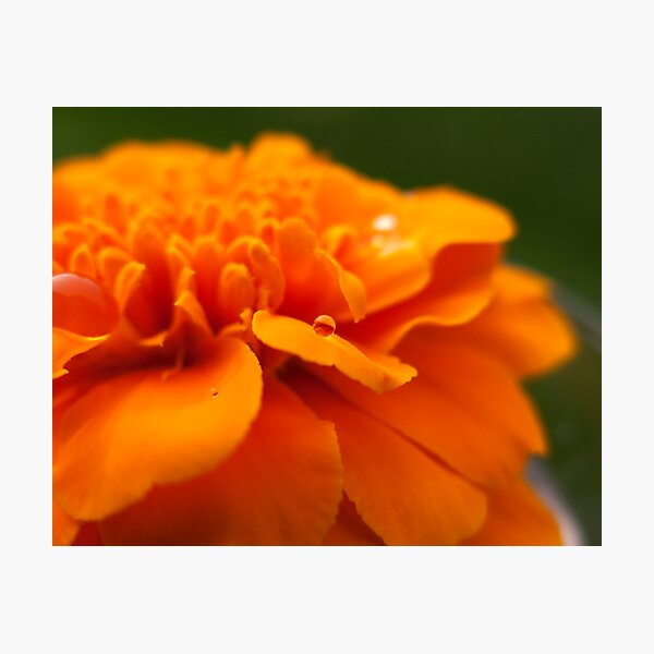 Marigold Drops I Photographic Print