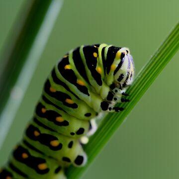 Larva (caterpillar)  by umpa1