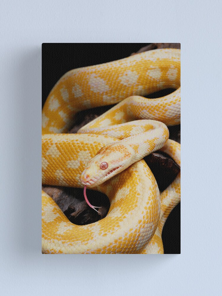Alternate view of Albino Northern Territory Carpet Python (Morelia spilota variegata) Canvas Print