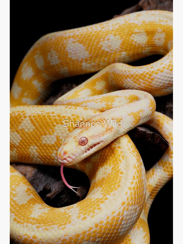 Albino Northern Territory Carpet Python (Morelia spilota variegata) by ShannonPlummer