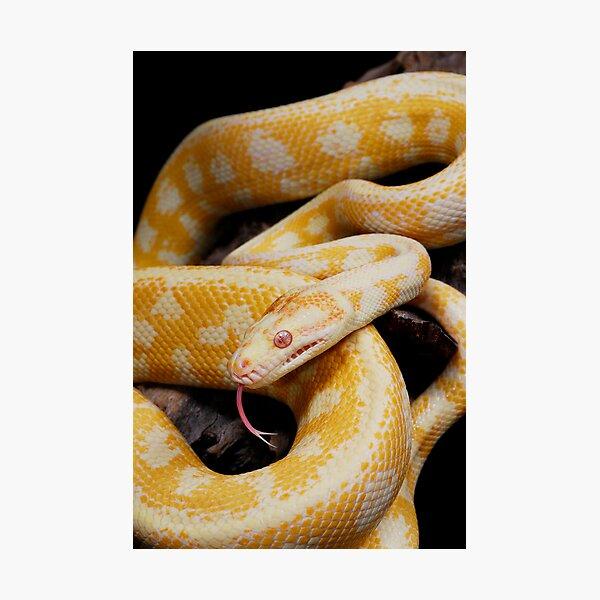 Albino Northern Territory Carpet Python (Morelia spilota variegata) Photographic Print