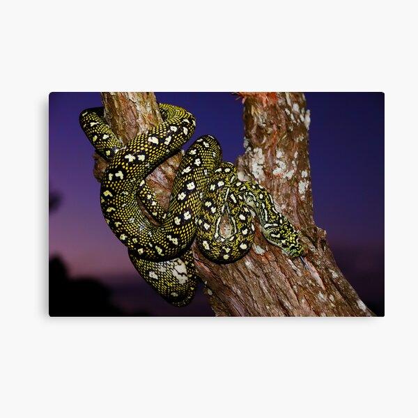 Diamond Python (Morelia spilota spilota) Canvas Print