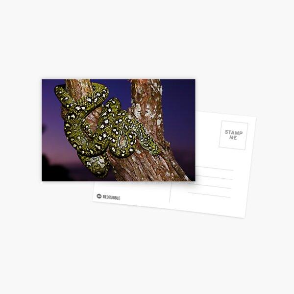 Diamond Python (Morelia spilota spilota) Postcard
