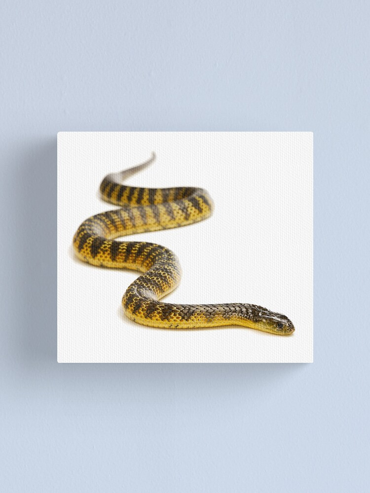 Alternate view of Eastern or Common Tiger Snake (Notechis scutatus scutatus) Canvas Print