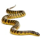 Eastern or Common Tiger Snake (Notechis scutatus scutatus) by Shannon Wild