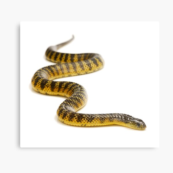 Eastern or Common Tiger Snake (Notechis scutatus scutatus) Metal Print