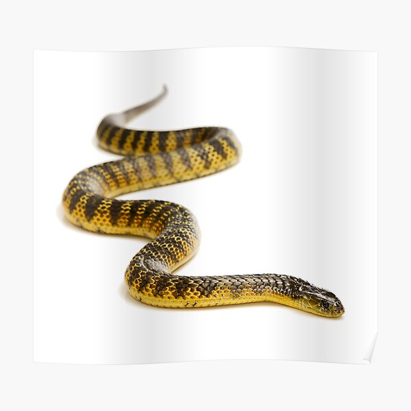 Eastern or Common Tiger Snake (Notechis scutatus scutatus) Poster