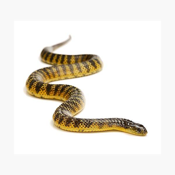 Eastern or Common Tiger Snake (Notechis scutatus scutatus) Photographic Print