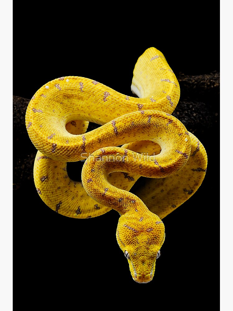 Green Tree Python (Morelia viridis) by ShannonPlummer