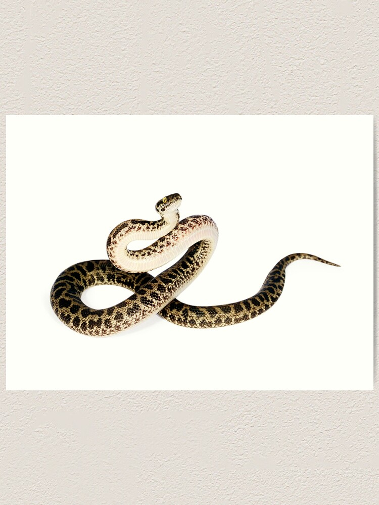 Alternate view of Spotted Python (Antaresia maculosa) Art Print