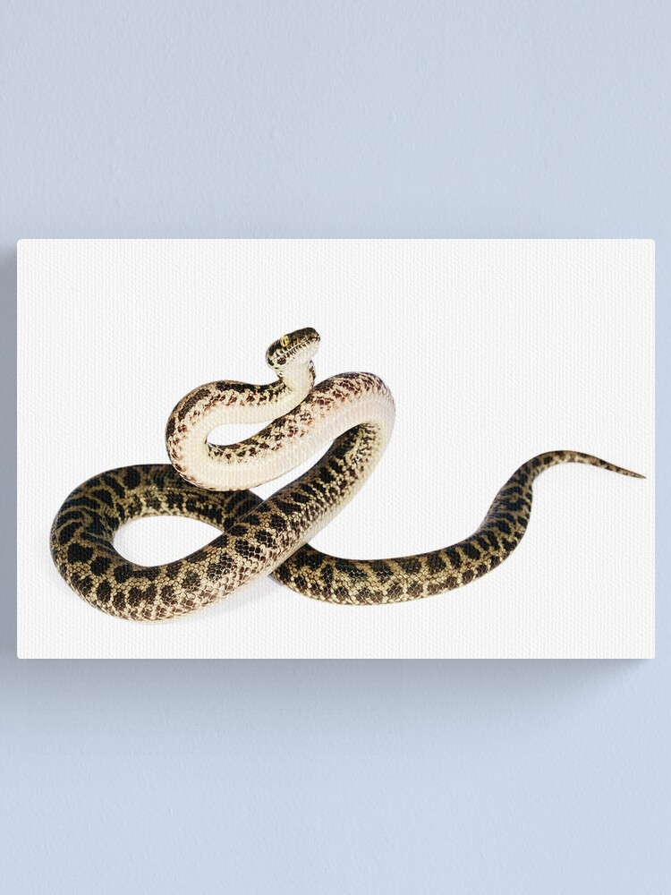 Alternate view of Spotted Python (Antaresia maculosa) Canvas Print