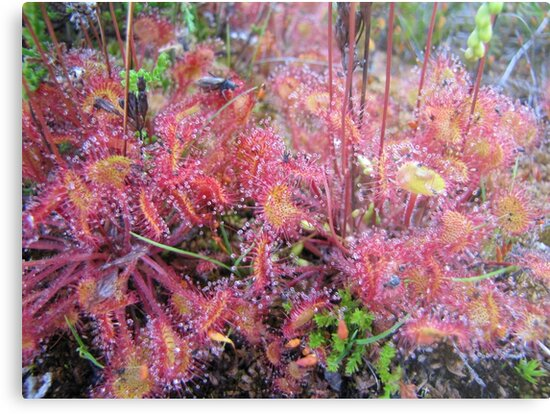 Carnivorous Plants =  fly eating by PVagberg
