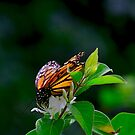 Monarch butterfly by Brad Chambers