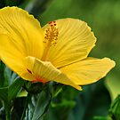 Yellow Hibiscus by Barbara Manis