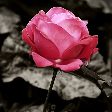 One Pink Rose by InspiraImage