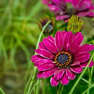 Pink Cape Daisy Flower by InspiraImage